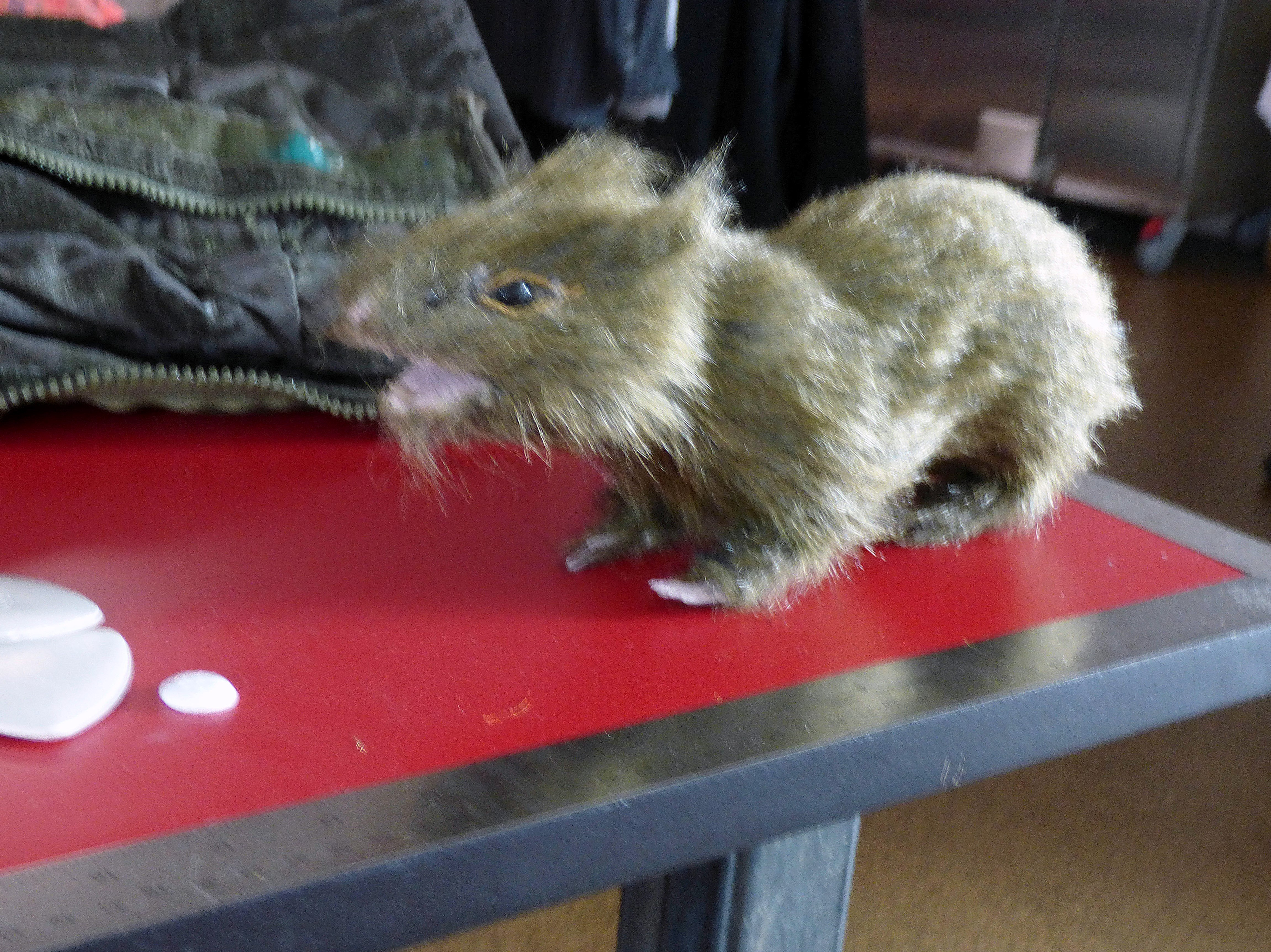 we also saw this rat inside the Costume Dept of Everyman Theatre, Liverpool, July 2016. He is a stuffed toy!