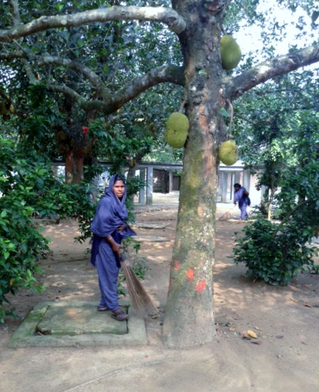 its cleaning day at Sreepur, Bangladesh, under the jackfruit tree