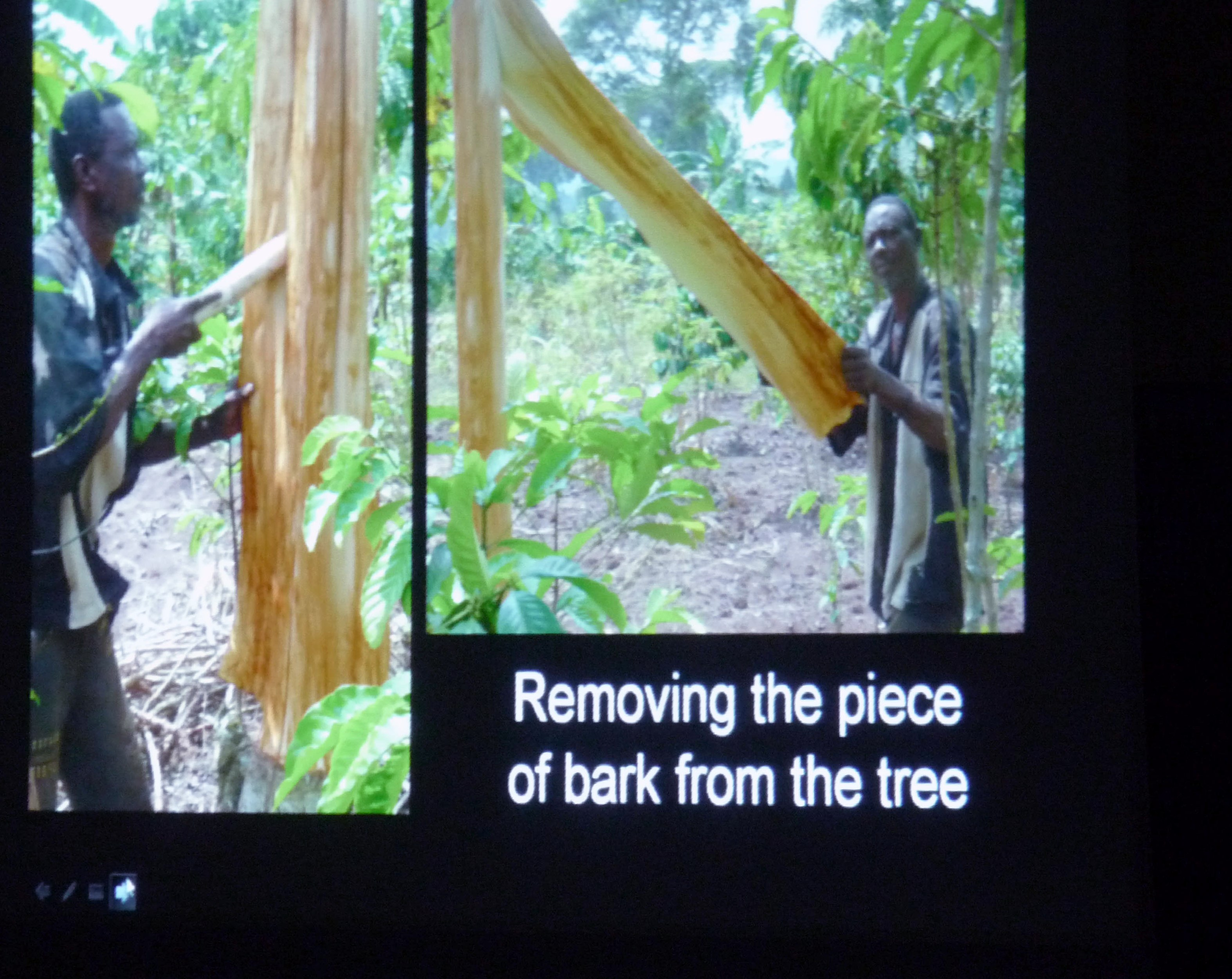slide by Bobby Britnall showing bark being removed from a matuba tree