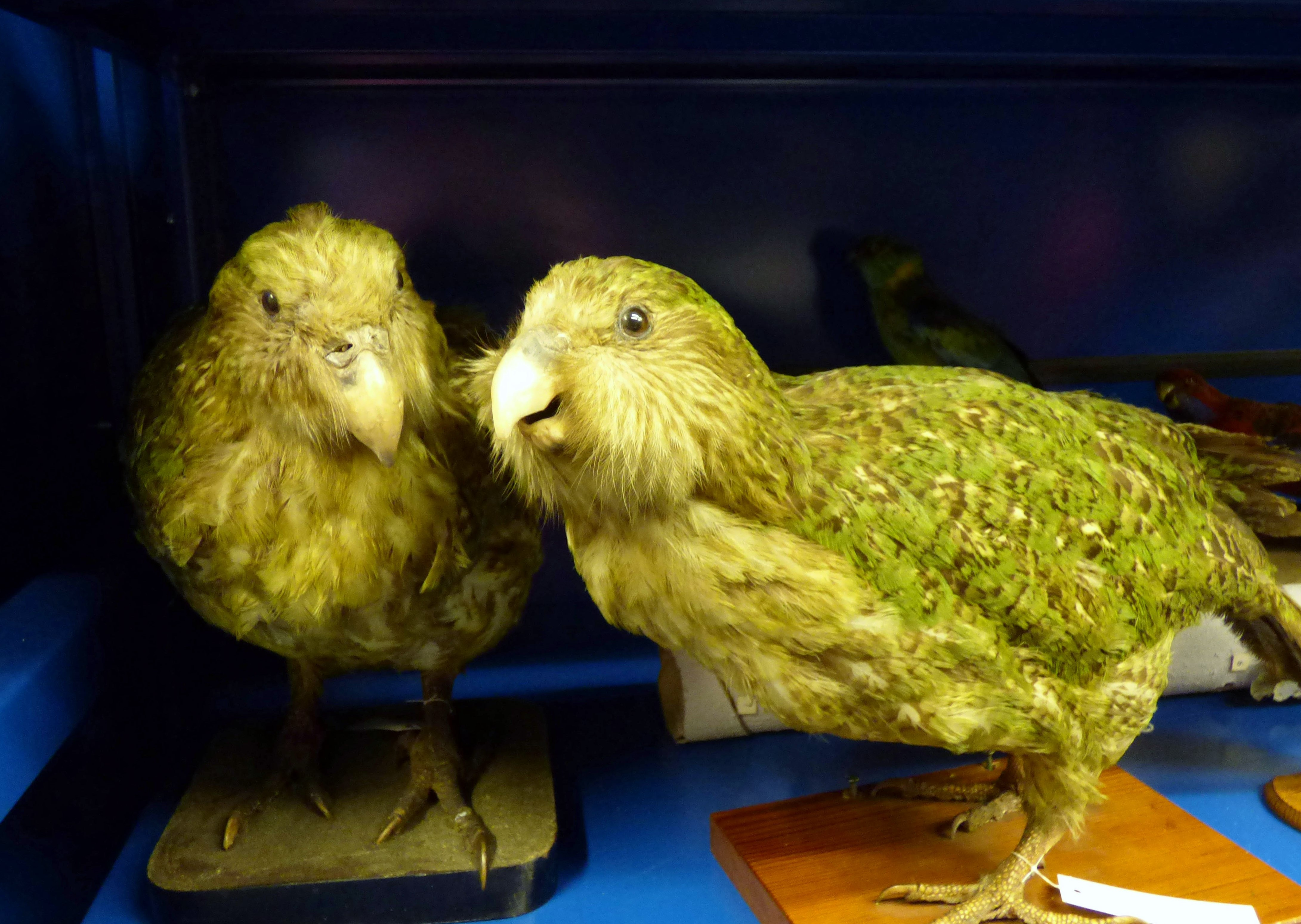 Taxidermy Kakapo, MEG behind the scenes tour at Liverpool World Museum, 2018