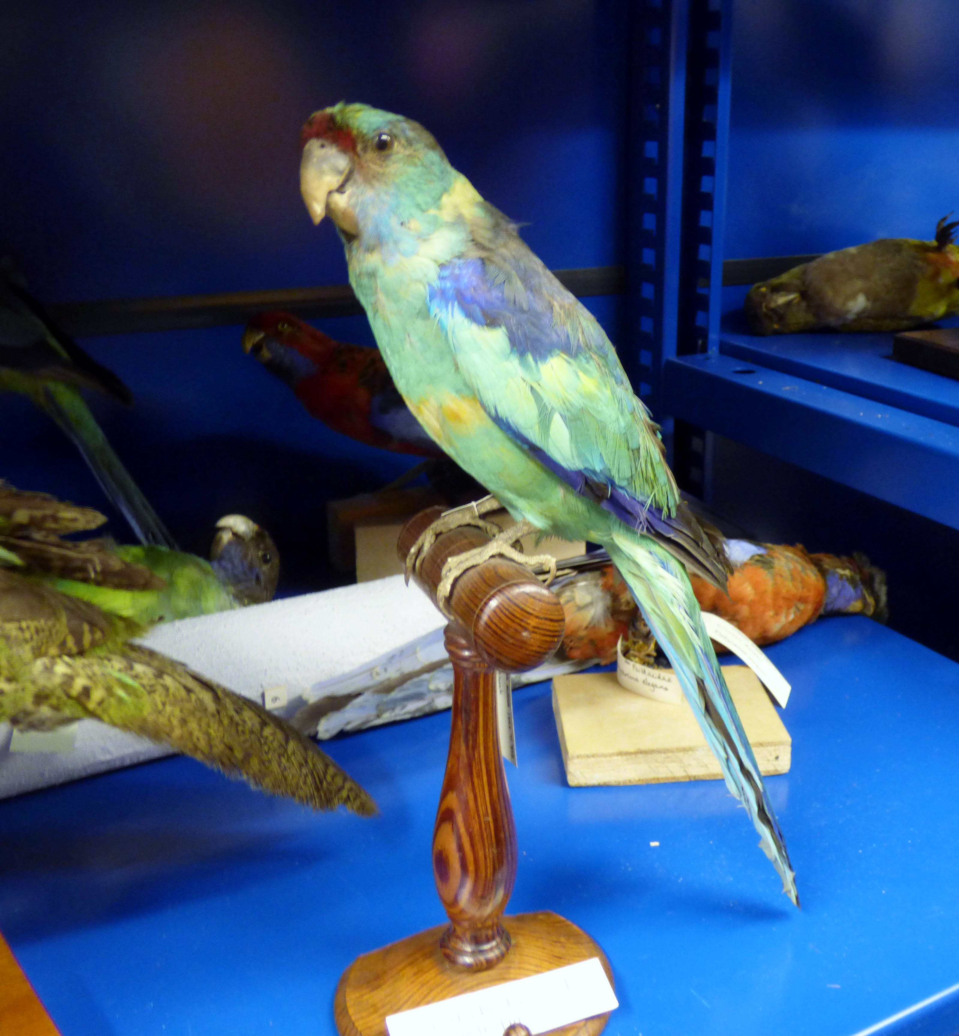 Taxidermy, Port Lincon Parrot from W. Australia, MEG behind the scenes tour at Liverpool World Museum, 2018