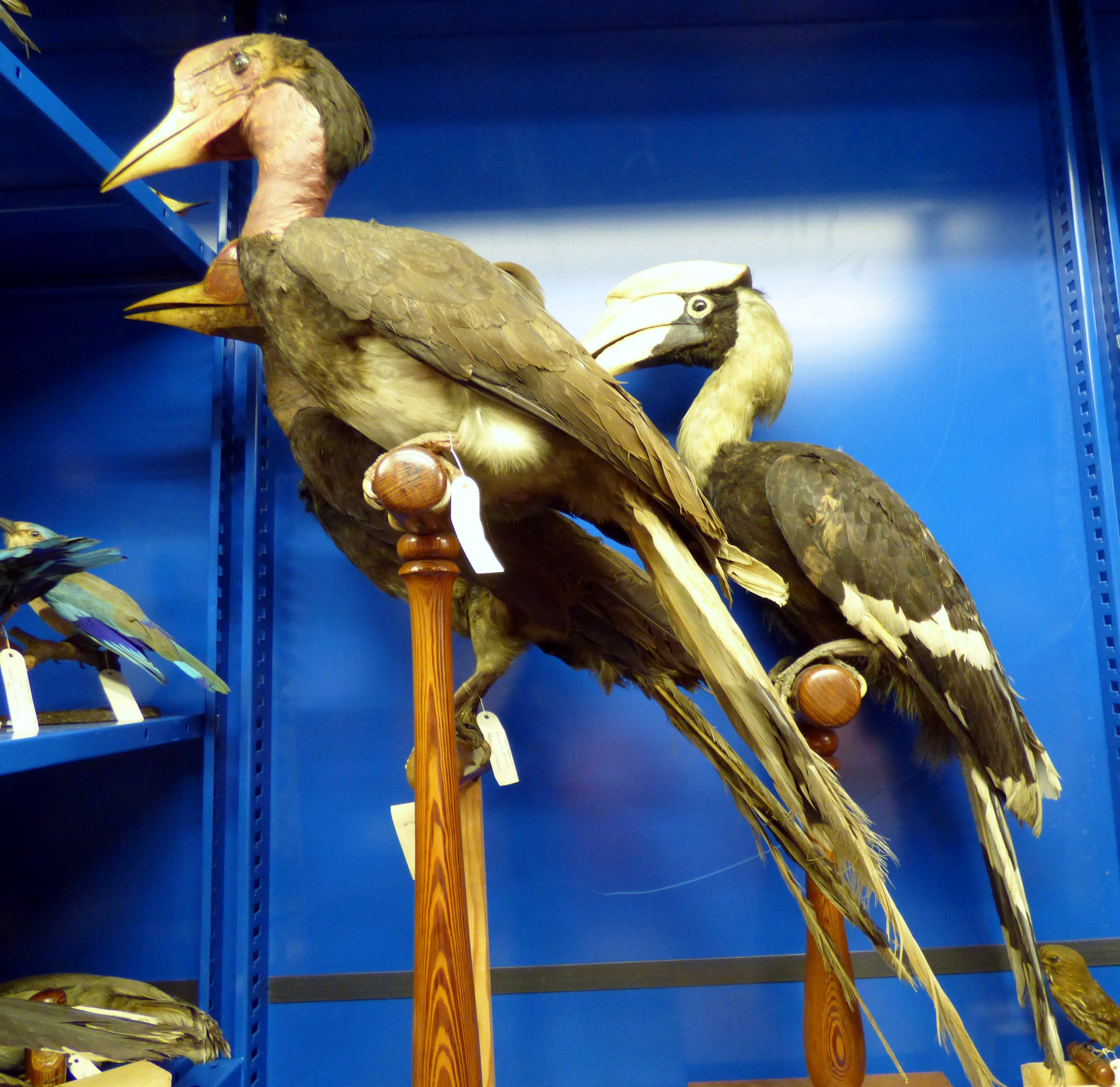 Taxidermy, Helmeted Hornbill, MEG behind the scenes tour at Liverpool World Museum, 2018