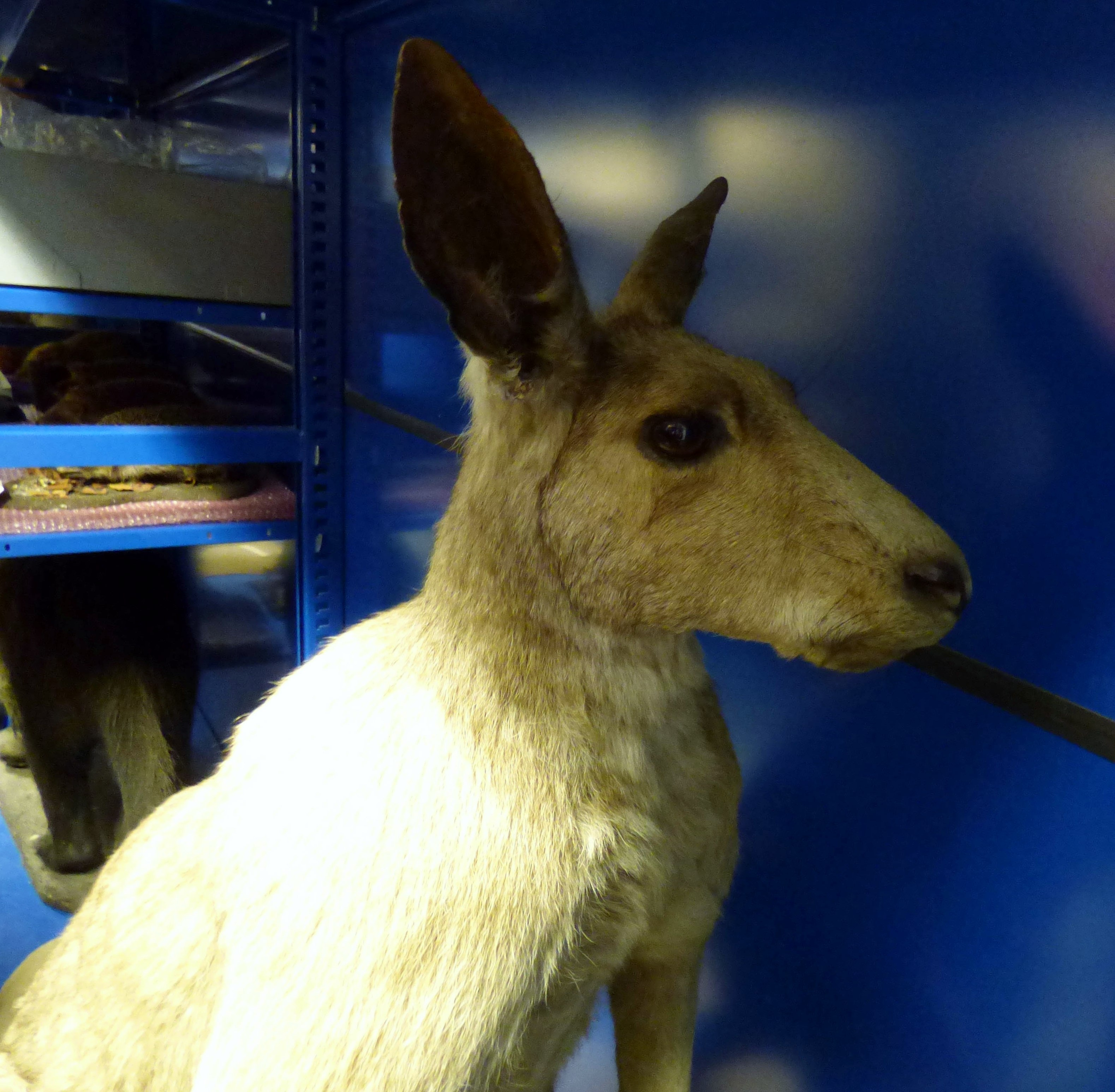Taxidermy, MEG behind the scenes tour at Liverpool World Museum, 2018
