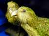 (detail) Taxidermy Kakapo, MEG behind the scenes tour at Liverpool World Museum, 2018