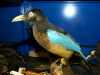 Taxidermy, Blue Bird of Paradise, MEG behind the scenes tour at Liverpool World Museum, 2018